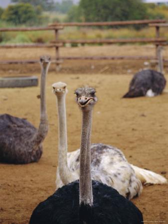 amanda-hall-ostrich-farm-in-oudtshoorn-little-karoo-south-affrica
