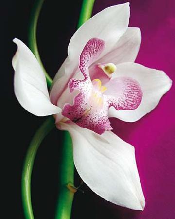 amelie-vuillon-orchid