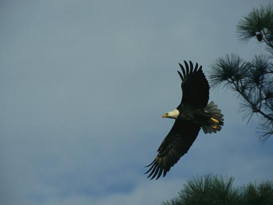 american-bald-eagle-in-flight