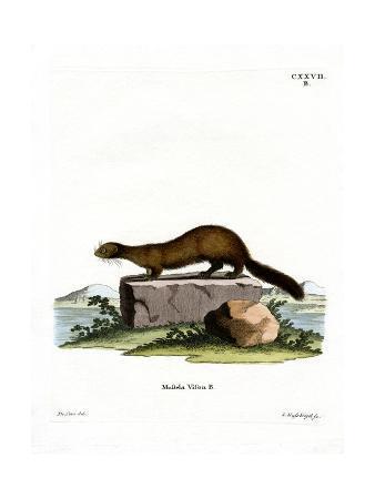 american-mink