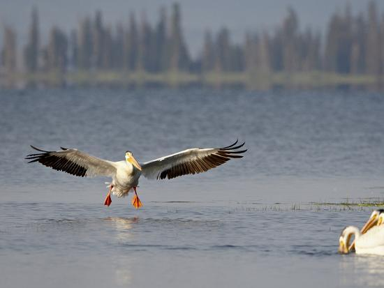 american-white-pelican-pelecanus-erythrorhynchos-fishing-yellowstone-national-park