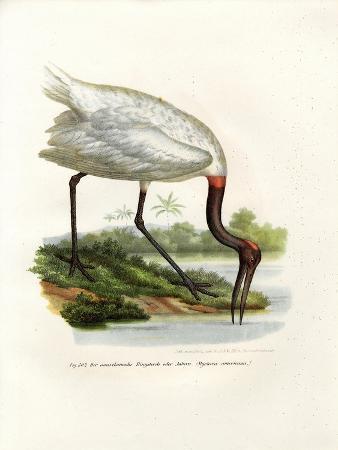american-wood-ibis-1864