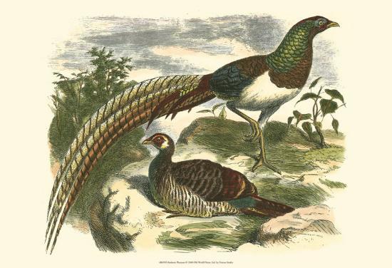 amherst-pheasant