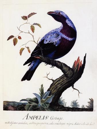 ampelis-cotinga-cotinga-cotinga-purple-breasted-cotinga-watercolour