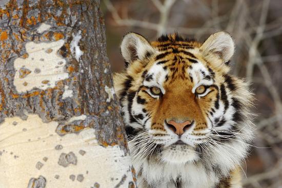 amur-tiger-in-winter-snow