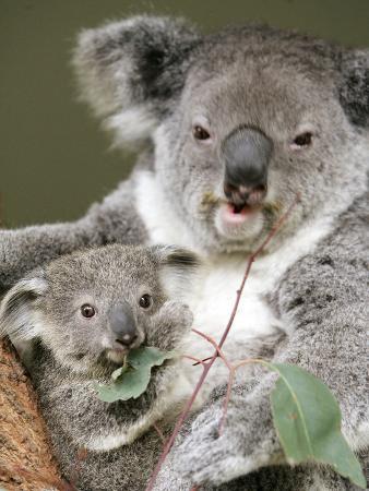 an-8-month-old-koala-joey