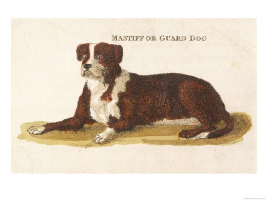 an-early-british-mastiff-a-breed-which-at-this-time-was-mainly-used-as-a-guard