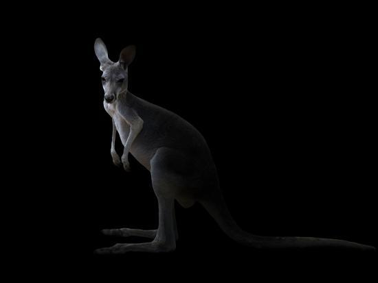 anan-kaewkhammul-kangaroo-standing-in-the-dark-with-spotlight