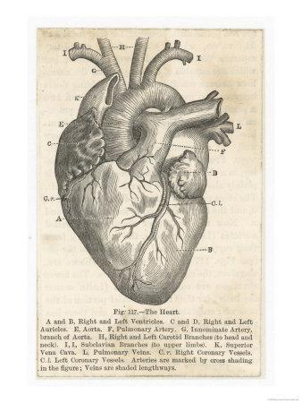 anatomy of the heart premium giclee print at. Black Bedroom Furniture Sets. Home Design Ideas