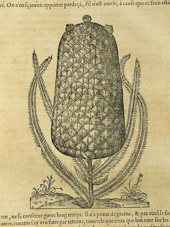 andre-thevet-pineapple-ananas-comosus-1575