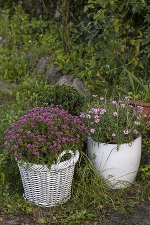 andrea-haase-asters-in-the-pot