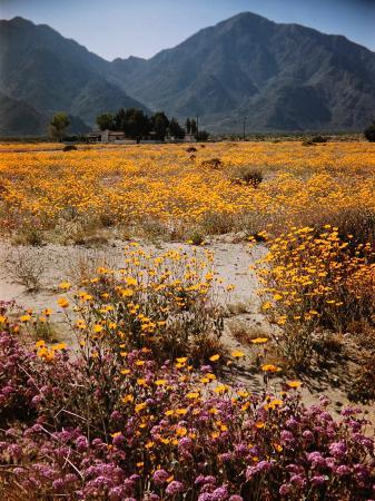 andreas-feininger-desert-wild-flowers