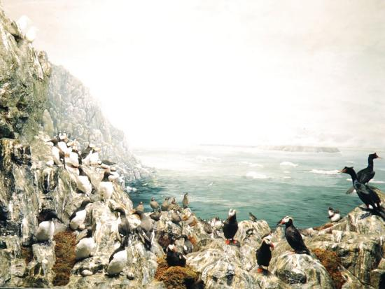 andreas-feininger-group-of-puffins-gathered-with-penguins-on-ragged-rock-overlooking-bering-strait