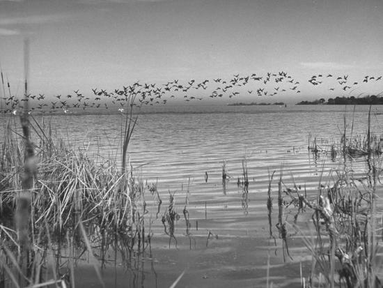 andreas-feininger-large-flock-of-canadian-geese-flying-over-water