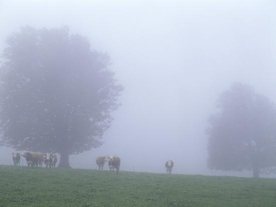 andreas-keil-germany-baden-w-rttemberg-black-forest-schauinsland-cows-in-fog