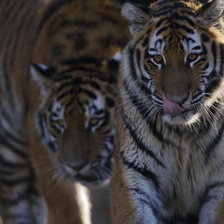 andreas-keil-siberian-tigers-panthera-tigris-altaica-subadults