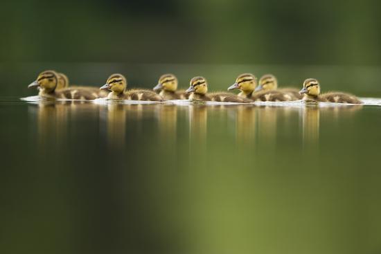 andrew-parkinson-a-line-of-mallard-anas-platyrhynchos-ducklings-swimming-on-a-still-lake-derbyshire-england-uk