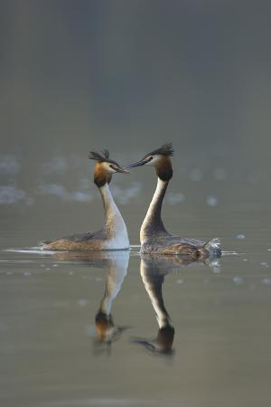 andrew-parkinson-great-crested-grebe-podiceps-cristatus-pair-during-courtship-ritual-derbyshire-uk-march