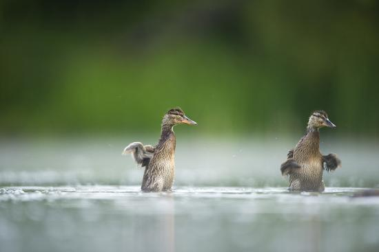 andrew-parkinson-two-mallard-anas-platyrhynchos-ducklings-standing-up-to-shake-wings-after-bathing-derbyshire-uk