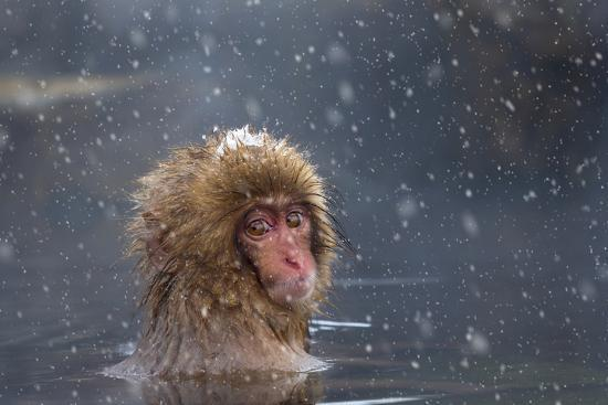 andrew-sproule-japanese-macaque-snow-monkey-macata-fuscata-japan
