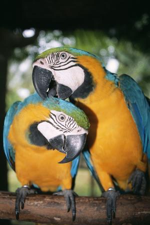 andrey-zvoznikov-blue-and-yellow-macaws