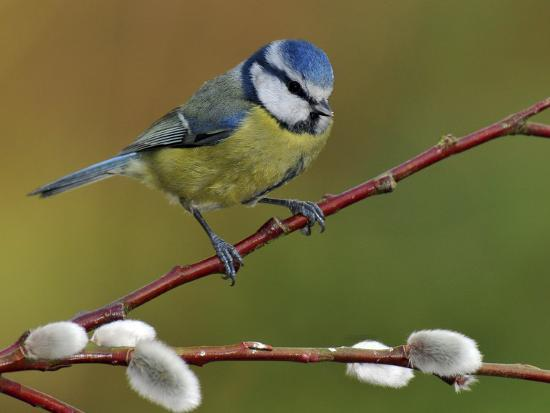 andy-sands-blue-tit-perched-among-pussy-willow-west-sussex-england-uk