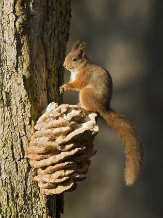 andy-sands-red-squirrel-on-bracket-fungus-cairngorms-scotland-uk