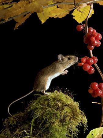 andy-sands-wood-mouse-investigating-black-bryony-berries-uk