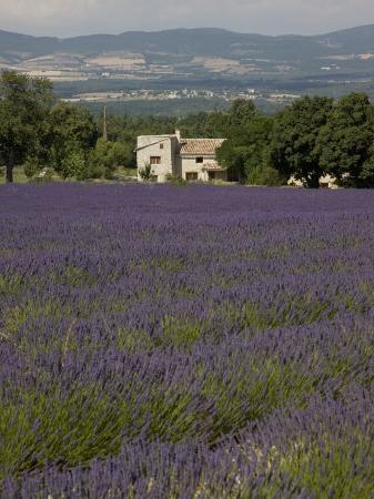 angelo-cavalli-lavender-fields-sault-en-provence-vaucluse-provence-france-europe
