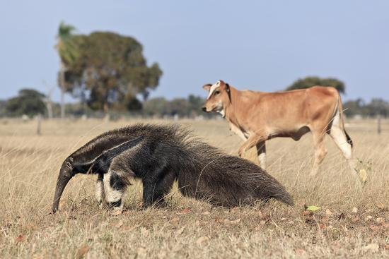 angelo-gandolfi-giant-anteater-myrmecophaga-tridactyla-walking-in-front-of-domestic-cattle-pantanal-brazil
