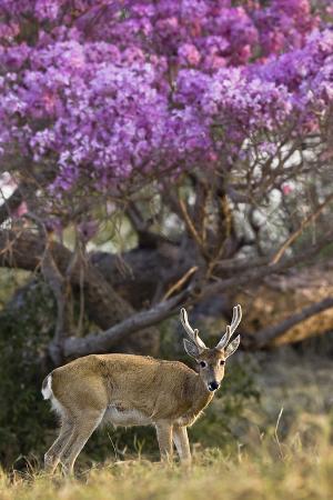 angelo-gandolfi-pampas-deer-ozotoceros-bezoarticus-buck-in-velvet-standing-by-flowering-tree-pantanal-brazil