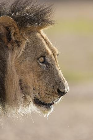 ann-and-steve-toon-lion-panthera-leo-kgalagadi-transfrontier-park-south-africa-africa