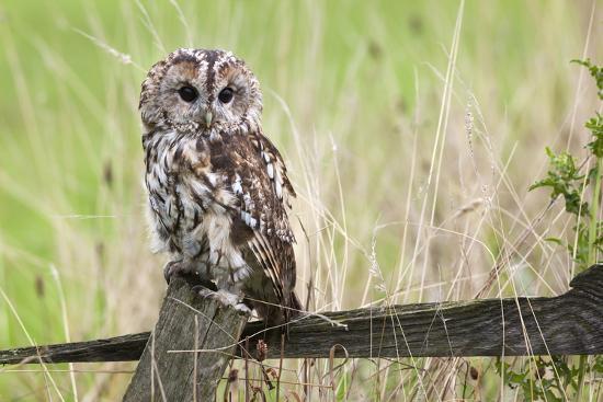 ann-and-steve-toon-tawny-owl-strix-aluco-captive-united-kingdom-europe