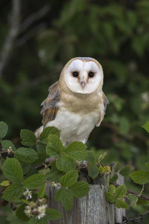 ann-steve-toon-barn-owl-tyto-alba-captive-cumbria-england-united-kingdom-europe
