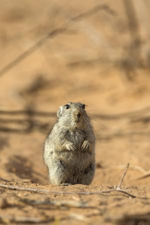 ann-steve-toon-brant-s-whistling-rat-parotomys-brantsii-in-the-kalahari-northern-cape-africa