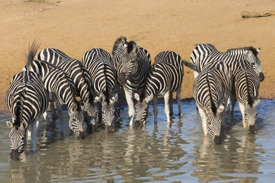 ann-steve-toon-burchell-s-zebra-plains-zebra-equus-burchelli-drinking-kwazulu-natal-africa