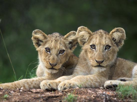 ann-steve-toon-lion-cubs-panthera-leo-in-kruger-national-park-mpumalanga-south-africa
