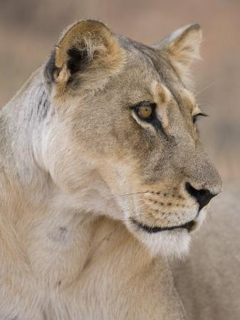 ann-steve-toon-lioness-panthera-leo-kgalagadi-transfrontier-park-south-africa-africa