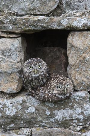 ann-steve-toon-little-owls-athene-noctua-perched-in-stone-barn-captive-united-kingdom-europe