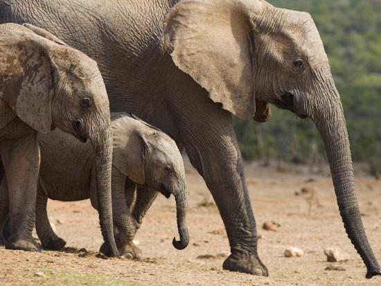 ann-steve-toon-maternal-group-of-elephants-eastern-cape-south-africa