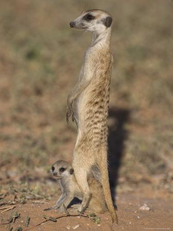 ann-steve-toon-meerka-suricata-suricatta-with-young-kgalagadi-transfrontier-park-south-africa-africa
