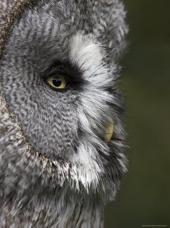 ann-steve-toon-portrait-of-a-great-grey-owl-strix-nebulosa-captive-united-kingdom-europe
