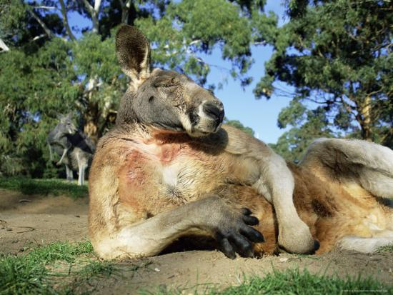 ann-steve-toon-red-kangaroo-macropus-rufus-cleland-wildlife-park-south-australia-australia