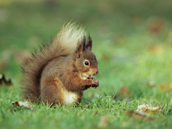 ann-steve-toon-red-squirrel-sciurus-vulgaris-lowther-near-penrith-cumbria-england-united-kingdom-europe
