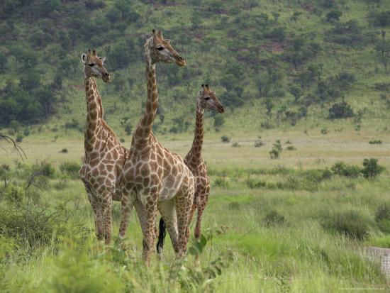 ann-steve-toon-three-giraffes-pilanesberg-game-reserve-north-west-province-south-africa-africa