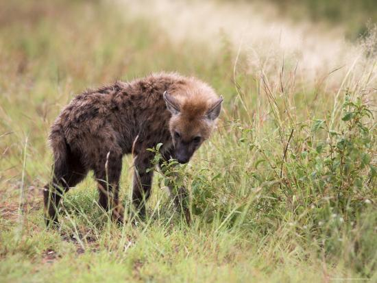 ann-steve-toon-young-spotted-hyena-picking-up-a-scent-kruger-national-park-mpumalanga-south-africa