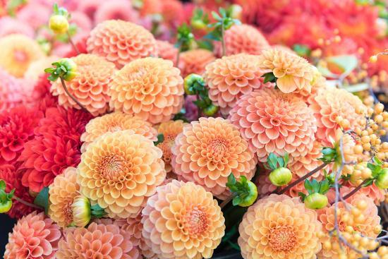 anna-hoychuk-beautiful-dahlia-flowers-for-sale-at-local-market