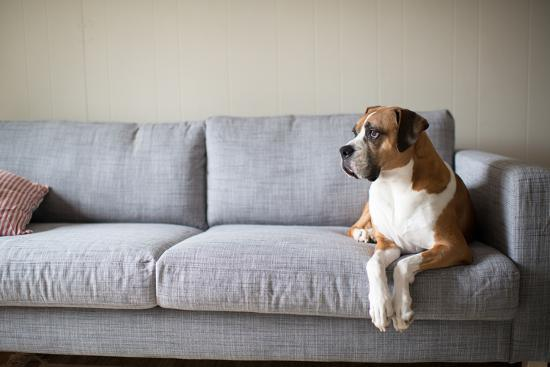 anna-hoychuk-boxer-mix-dog-laying-on-gray-sofa-at-home-looking-in-window