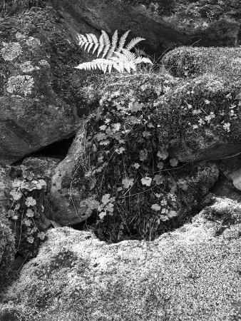 anna-miller-hetch-hetchy-valley-moss-and-fern-on-rocks