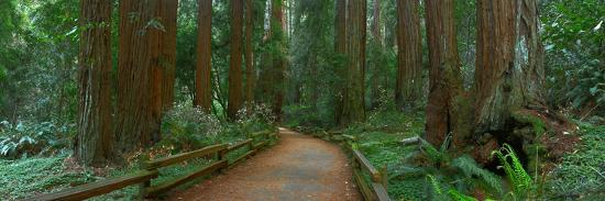 anna-miller-old-growth-coast-redwood-muir-woods-national-monument-san-francisco-bay-area
